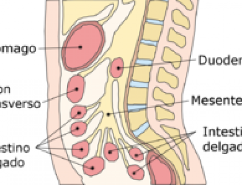 (Español) El mesenterio (también llamado segundo cerebro), la biomecánica respiratoria y la energía, chi.       Por Carlos Velasco. Psicólogo, psicoterapeuta biogestáltico y naturópata.