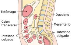 El mesenterio (también llamado segundo cerebro), la biomecánica respiratoria y la energía, chi.       Por Carlos Velasco. Psicólogo, psicoterapeuta biogestáltico y naturópata.